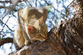 African wild cat looking for food high up in a tree Stock Image