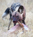 African wild dog africa botswana okavango delta feeding on a kill Stock Images