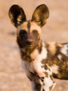 African wild dog close up image of an Royalty Free Stock Photo