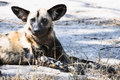 African wild dog critically endangere the is endangered Stock Image