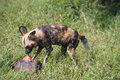 African wild dog feasting on a chunk of meat Royalty Free Stock Photography