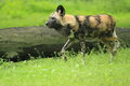 African wild dog the in the grass Royalty Free Stock Photography