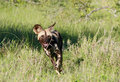 African wild dog hunting running in the bushveld Stock Photography