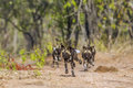 African wild dog in Kruger National park, South Africa