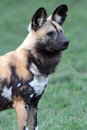 African wild dog looking alert Stock Photos