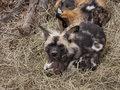 African wild dog pack of dogs at rest Royalty Free Stock Photo