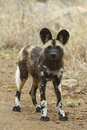 African Wild Dog Puppy Royalty Free Stock Image