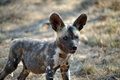 African Wild Dog Puppy Stock Images