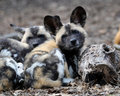 African wild dog pups Royalty Free Stock Photo