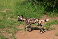 African wild dogs an dog in south africa side view Royalty Free Stock Photos