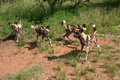 African wild dogs four in the in south africa Royalty Free Stock Photos