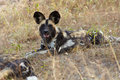 African wild dogs the nearly extinct highly endangered lycaon pictus resting in the savannah shallow depth of field Royalty Free Stock Photos