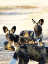 African wild dogs the nearly extinct highly endangered lycaon pictus resting in the savannah shallow depth of field Stock Photography
