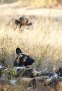 African wild dogs the nearly extinct highly endangered lycaon pictus resting in the savannah shallow depth of field Stock Photos