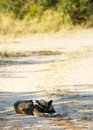 African wild dogs the nearly extinct highly endangered lycaon pictus resting in the savannah shallow depth of field Stock Image