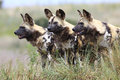 African wild dogs pack of looking for prey Royalty Free Stock Photo