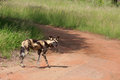 African wild dogs a single dog on a gravel road in south africa Stock Photos
