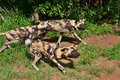African wild dogs in south africa Royalty Free Stock Photo