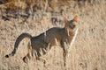African wildcat Stock Photography