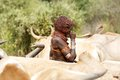 African woman of the hamer ethnic group with tribal hairstyle and body paint is blowing into the horn and dancing among the cattle Royalty Free Stock Images