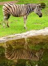 African zebra Stock Images