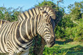African zebra in addo national park south africa Stock Images