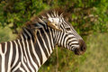 African zebra with bird in ear Royalty Free Stock Image