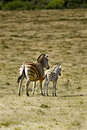 African zebra and calf Royalty Free Stock Photos
