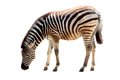 African zebra an isolated in a white background Royalty Free Stock Image