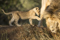 Afrikaner lion male und cub panthera löwe Lizenzfreie Stockfotos
