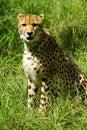 Afrikansk cheetah Royaltyfri Fotografi