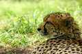 Afrikansk cheetah Arkivbild