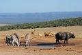 Afrykańska przyroda przy waterhole Zdjęcie Stock