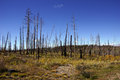 Aftermath of forest fire kaibab plateau arizona Stock Image