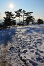Afternoon winter sun above snow covered plane with pathway and line of crooked coniferous pine trees. Royalty Free Stock Photo