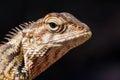 Agamid Lizard. Agamidae