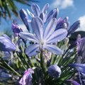 Agapanthus. Blue Umbrella - Blue Lily Of The Nile. Water Droplets On Petals After Rain. Close Up View.