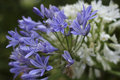 Agapanthus blue and white in the wild Royalty Free Stock Photography