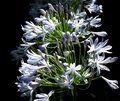 Agapanthus Or Lily Of The Nile Royalty Free Stock Photo