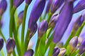 Agapanthus Series 13 Royalty Free Stock Photo