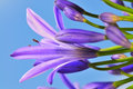 Agapanthus Series 17 Royalty Free Stock Photo