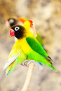 Agapornis Personatus Bird