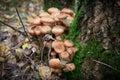 Agaric mushrooms among fallen leaves in autumn Stock Photos