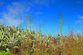 Agave americana and blue sky Royalty Free Stock Photo