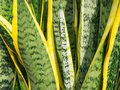 Agave americana , sentry plant , or American aloe. Royalty Free Stock Photo