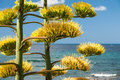 Agave cactus detail blooming plant with mediterranean sea landscape background Stock Image