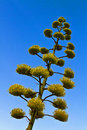 Agave 'Century Plant' blooming Royalty Free Stock Photo