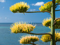 Agave plant high stem blooming on the coast of sardinia Royalty Free Stock Images
