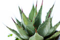Agave plant Royalty Free Stock Photo
