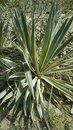 Agave Plant in Wild Green and Yellow Shad Royalty Free Stock Photo